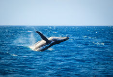 Whale breaching. A hump backed whale breaching in the ocean Stock Photo
