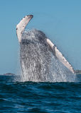 Whale Breaching Stock Image