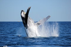 Whale Breaching. A Humpback Whale breaching! Taken during Whale Watching Gold Coast Australia royalty free stock photos