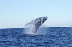 Whale Breaching. Off Sydney Australia stock images