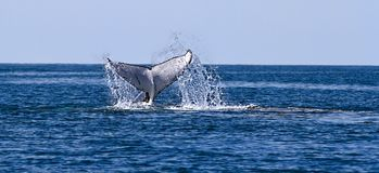Whale Breaking The Surface Of The Water. A whale breaks the surface of the water with its tail royalty free stock photo