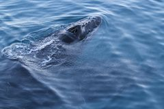 Whale breathing. Water droplets from the blowhole spatter the surface around a whale Stock Photo