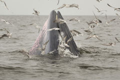 Whale. Bryde's whale in Thailand stock photography