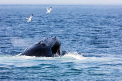 Whale, cape cod Royalty Free Stock Image