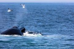 Whale, cape cod Stock Image