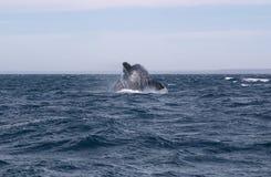 Whale Cetacean Eubalaena australis. Patagonia Argentina Royalty Free Stock Photography