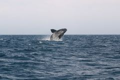Whale Cetacean Eubalaena australis. Patagonia Argentina Royalty Free Stock Images