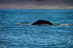 Whale comming up for breath in Husavik Stock Photos
