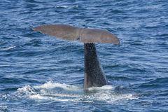 Whale while diving at Andenes. Tail of a whale while diving at Andenes at the Lofoten Islands in Norway stock photography