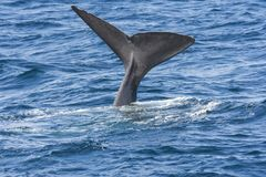 Whale while diving at Andenes. Tail of a whale while diving at Andenes at the Lofoten Islands in Norway royalty free stock photography