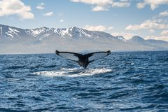 Whale diving on the Iceland coast near Husavik royalty free stock photos