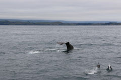 Whale and dolphins together. Whale watching in Kaikoura, New Zealand royalty free stock images