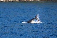 Whale, Doubtful Sound, Fiordland National Park, South Island, New Zealand stock photo