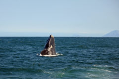 The whale emerges from the water and smiles at the photographer Royalty Free Stock Photography