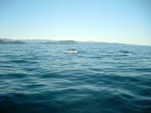 Whale exiting his tail from the water stock image