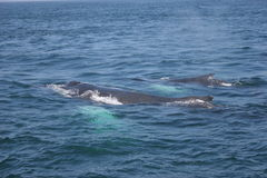 Whale Family. MOther and Calf Stock Photos