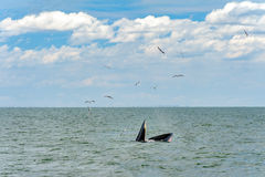Whale feeding Royalty Free Stock Photo