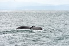 Whale fin of a diving whale. Whale fin of a diving humpback whale in Monterey bay in the pacific ocean stock image