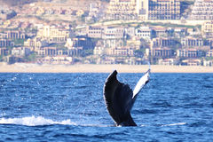 A whale flips its tail up after a leisurely dive. A humpback whale shows its tail, splashing the cold ocean water during a dive off the coast of mexico stock images