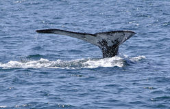 Whale fluke. Humpback whale fluke taken off Queensland, Australia Royalty Free Stock Photos