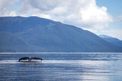 Whale fluke. A lone Humpback whale dives beneath the still waters of Chatham Strait, South East Alaska, whilst feeding on the vast schools of Herring which Stock Photo