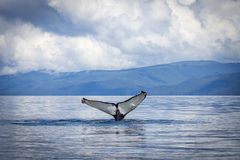 Whale fluke. A lone Humpback whale shows it's massive tail whilst as it dives beneath the still waters of Chatham Strait, South East Alaska, whilst feeding on Stock Image