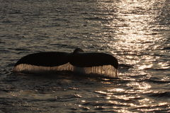 Whale fluke at sunset. Fluke of a humpback whale at sunset Royalty Free Stock Photo