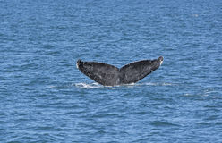 Whale Flukes on the way down. In Kenai Fjords National Park in Alaska Royalty Free Stock Photo