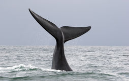 Whale greeting. A whale greeting in the ocean of south africa, souther right whale royalty free stock photography
