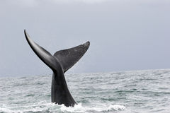 Whale greeting Royalty Free Stock Images