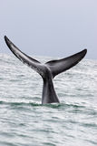 Whale greeting. A whale greeting in the ocean of south africa, souther right whale stock photos