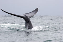 Whale greeting. A whale greeting in the ocean of south africa, souther right whale stock photo
