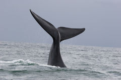 Whale greeting. A whale greeting in the ocean of south africa, souther right whale royalty free stock image