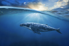 Whale in half air , half water . Whale in half airhalf water royalty free stock images