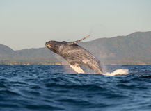 Whale having fun 2. A happy whale breaches in the pacific ocean stock images