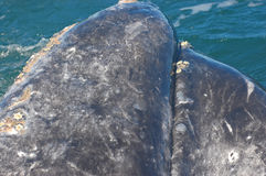 Whale Head. A gray whale sticks his head out of the water to greet humans Stock Photography