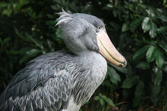 Whale-headed Stork Stock Photography