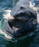 Whale and her lunch. Closeup of a whale with open mouth stock photography