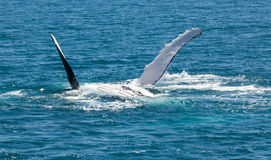 Whale Hervey Bay Australia. Whales stay for a while in Hervey Bay royalty free stock photo
