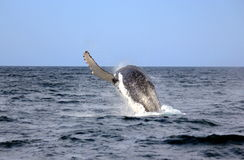 Whale Humpback Royalty Free Stock Image