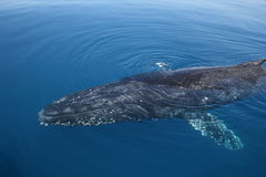 Whale Humpback swimming Stock Photography