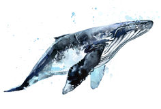Whale. Humpback whale watercolor illustration. Royalty Free Stock Photography