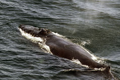 Whale Using Its Blowhole Stock Photo