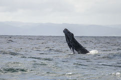 Whale jump Royalty Free Stock Photography