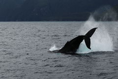 Whale jump. Ing in the ocean, near Valdez Alaska Royalty Free Stock Images