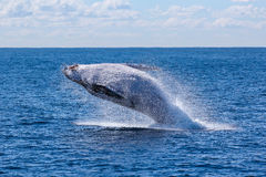 Whale Jump over the Sea Stock Images