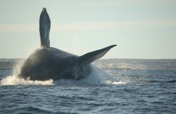 Whale jumping Stock Photography