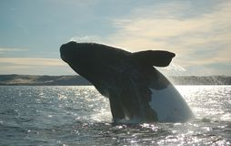 Whale jumping. Patagonian whale jumping in the atlantic ocean Royalty Free Stock Photo