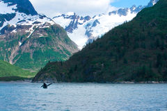 Whale Jumping Alaskan Landscape. A whale jumps out of the ocean in front of the mountains of Seward, Alaska Stock Photography