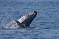 Whale jumping near to cape code. Hump Whale jumping Royalty Free Stock Images